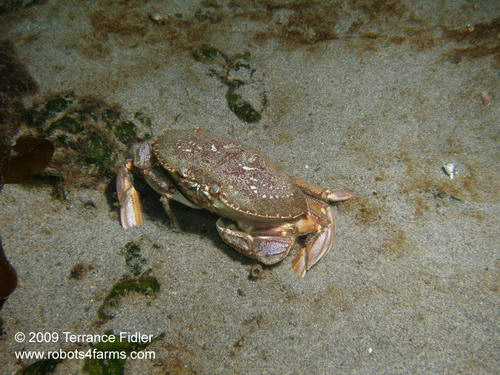 Dungeness Crab - juvenile