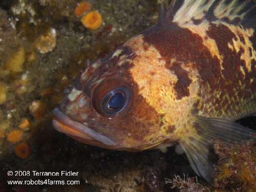 Close up of a Quillback Rockfish fish  - Breakwater Island off of Gabriola Nanaimo - scuba diving site vancouver island british columbia canada