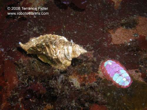 Blue Lined Chiton