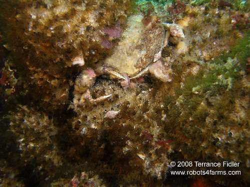 Moss Crab catching Snail