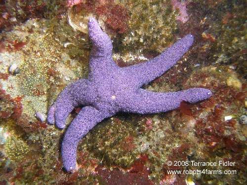 A mutant Purple Star - extra tip on one arm