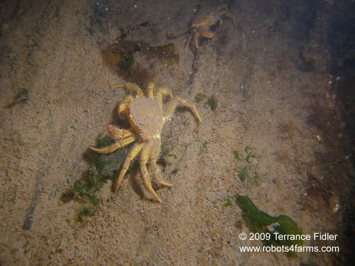 Helmet Crab, Clam Cove, Browning Passage, Port Hardy