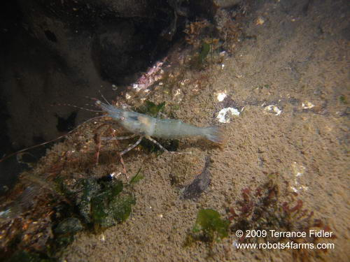 Stout or Oriental Shrimp, Clam Cove, Browning Passage, Port Hardy
