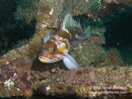 Copper Rockfish, Browning Passage, Port Hardy