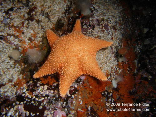 Spiny Red Star, echinoderm, Hideaway Island, Browning Passage, Port Hardy