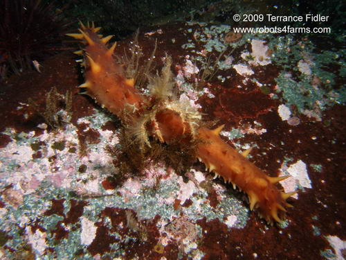Sea Cucumber, Hussar Point, Browning Passage, Port Hardy