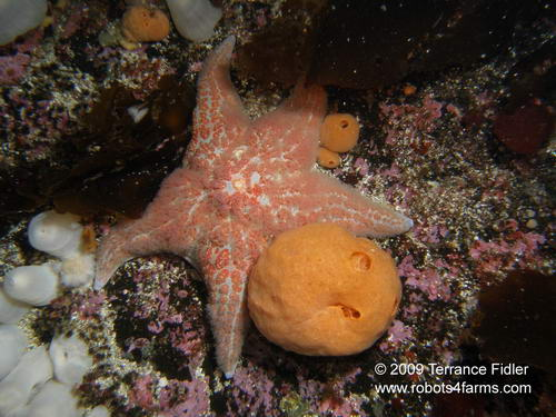 Leather Starfish, Rock of Life, Browning Passage, Port Hardy