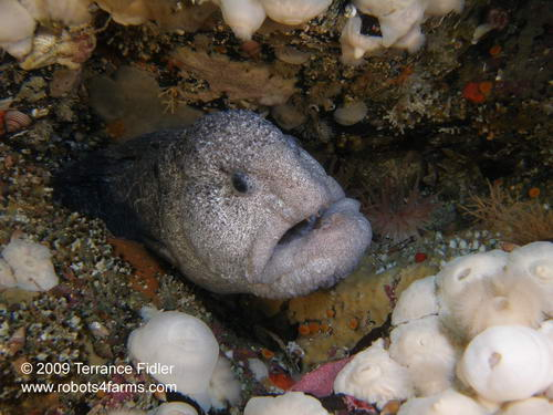 Wolf Eel, fish, Rock of Life, Browning Passage, Port Hardy