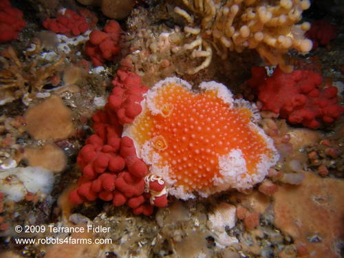 Orange Peel Nudibranch, Seven Tree Island, Browning Passage, Port Hardy