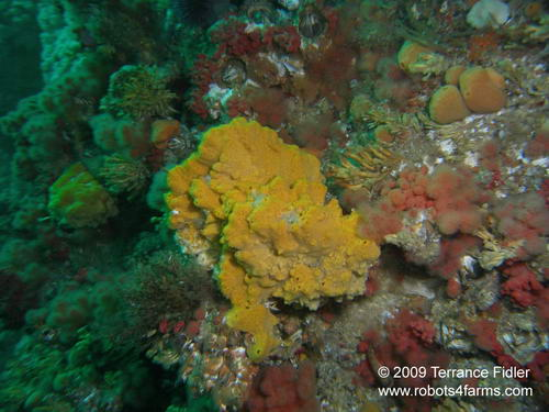 Sulphur Sponge on Browning Wall