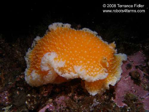 Orange Peel Nudibranch
