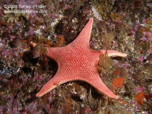 Vermilion Star and a small hermit crab