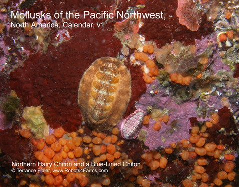 Northern Hairy Chiton Year 2011 Calendar