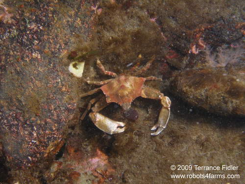 Foliate Kelp Crab crustacean  - Clover Point in Victoria - scuba diving site vancouver island british columbia canada