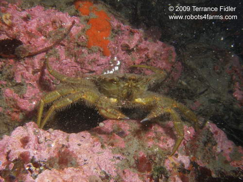 Helmet Crab crustacean  - Clover Point in Victoria - scuba diving site vancouver island british columbia canada