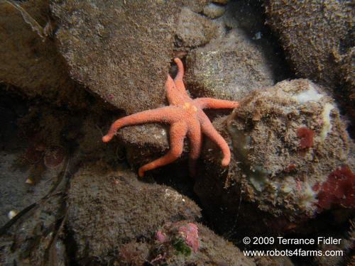 Orange Sunstarfish