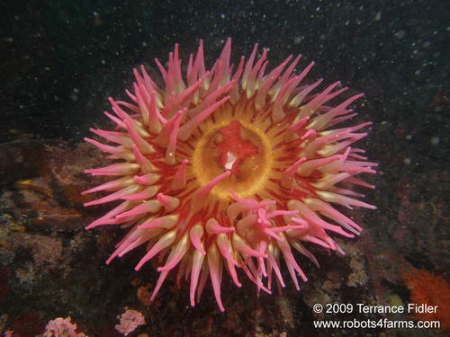 Fish Eating Anemone - Clover Point in Victoria - scuba diving site vancouver island british columbia canada