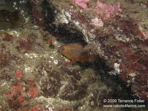 Kelp Perch hiding in a rock crevice - a fish