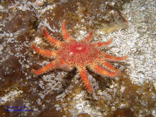 Rose Starfish echinoderm  - Deep Cove North Saanich Sidney - scuba diving site vancouver island british columbia canada