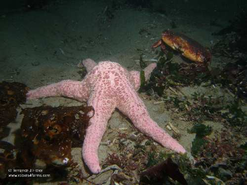 Spiny Pink Star and a Red Rock Crab