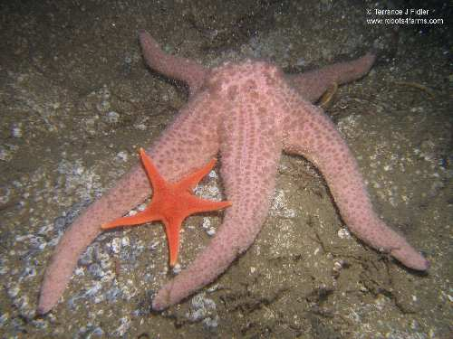 Spiny Pink Star and a Vermilion Star