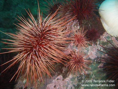 Red and Purple Sea Urchins - Discovery Island near Sidney - scuba diving site vancouver island british columbia canada
