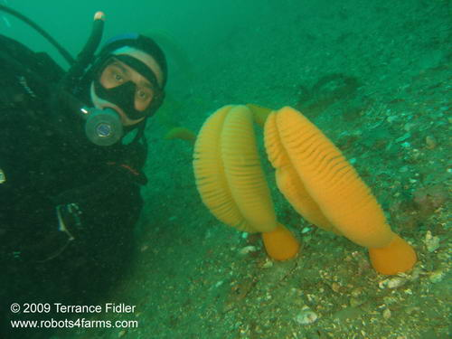 Sea Pens and a Scuba Diver near Victoria British Columbia on Vancouver Island