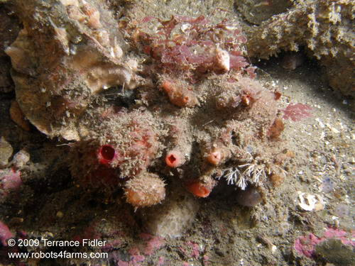 Warty Tunicates