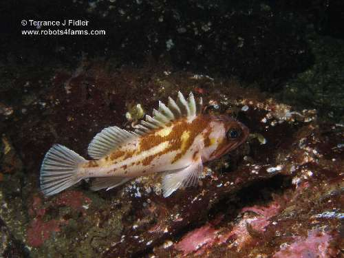 Copper Rockfish - Dolphin Beach Nanoose Bay - scuba diving site vancouver island british columbia canada