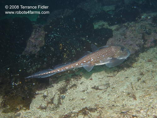 Chimaera or Ratfish or Ghost Shark  - Five Fathom near Port Hardy - scuba diving site vancouver island british columbia canada