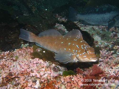 Kelp Greenling fish  - Five Fathom near Port Hardy - scuba diving site vancouver island british columbia canada