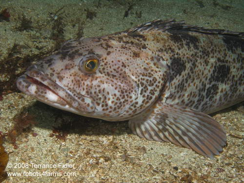 Lingcod fish  - Five Fathom near Port Hardy - scuba diving site vancouver island british columbia canada