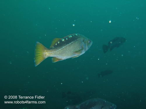 Yellowtail Rockfish fish  - Five Fathom near Port Hardy - scuba diving site vancouver island british columbia canada