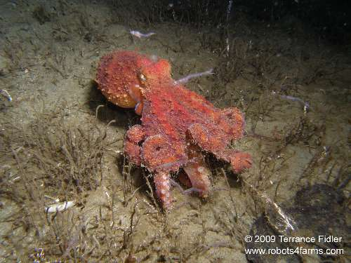Pacific Giant Octopus - Henderson Point North Saanich - scuba diving site vancouver island british columbia canada