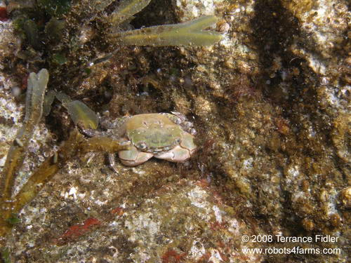 Green Shore Crab - Henderson Point North Saanich - scuba diving site vancouver island british columbia canada