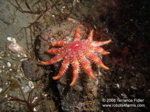 Rose starfish