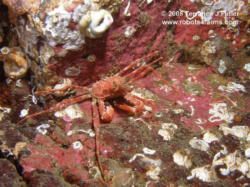 Longhorn Decorator Crab