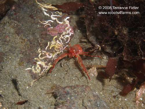 Squat Lobster or Galatheid Crab