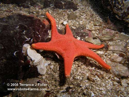 A six armed Vermilion Starfish and an Umbrella Crab - Henderson Point North Saanich - scuba diving site vancouver island british columbia canada