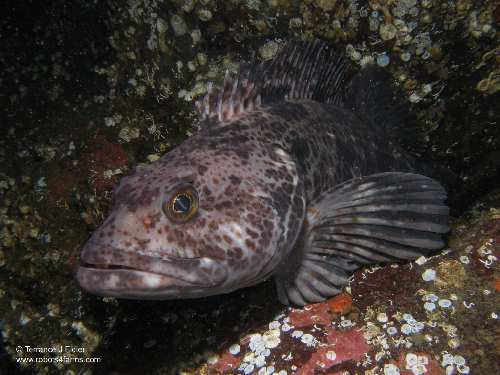 Ling Cod fish - Henderson Point North Saanich - scuba diving site vancouver island british columbia canada