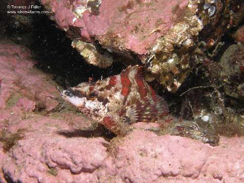 Painted Greenling fish - Henderson Point North Saanich - scuba diving site vancouver island british columbia canada