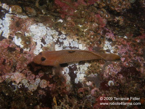 BlackEyed Goby - a fish
