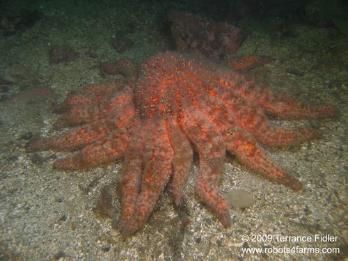 Sunflower Starfish