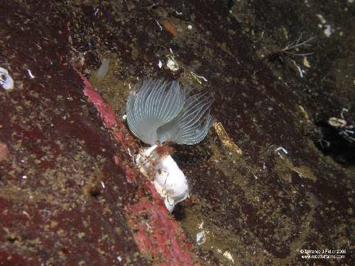 White Crown Calcareous Tubeworm and Shrimp