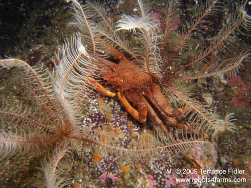 Scaled Crab among some Feather Stars