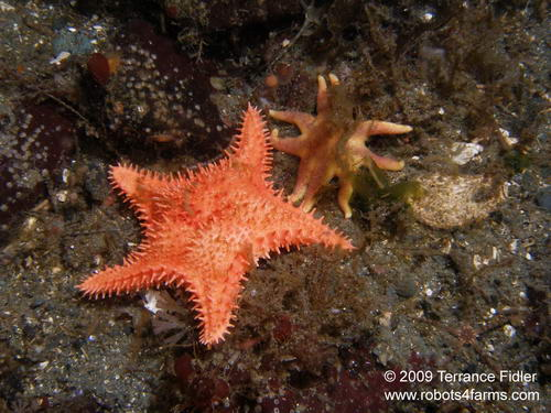 Spiny Red Starfish and a juvenile Orange Sunstarfish