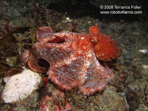 A young Pacific Giant Octopus