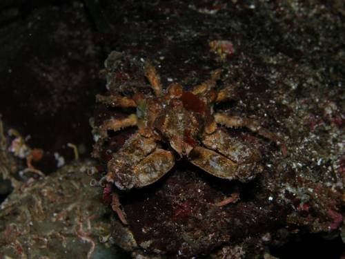 Sharp Nosed Crab