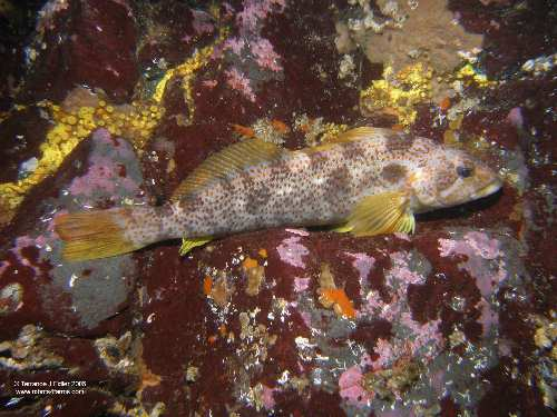 Kelp Greenling - female