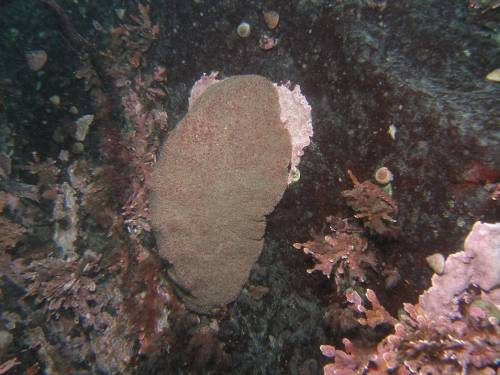 Giant Pacific Chiton or Gumboot Chiton